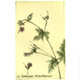 steendruk - ooievaarsbek 20 x 13 cm