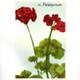 steendruk - rode geranium 20 x 13 cm