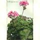 steendruk - roze geranium 20 x 13 cm