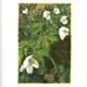 steendruk - witte bosanemoon 20 x 13 cm